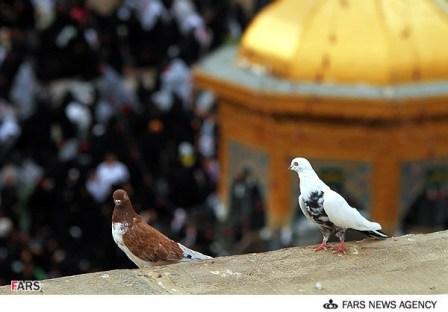 کبوتر حرم-خاطرات خدمت در حرم امامرضا علیهالسلام-تولدت مبارک کبوتر!