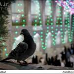 کبوتر حرم-خاطرات خدمت در حرم امامرضا علیهالسلام-هشتساله